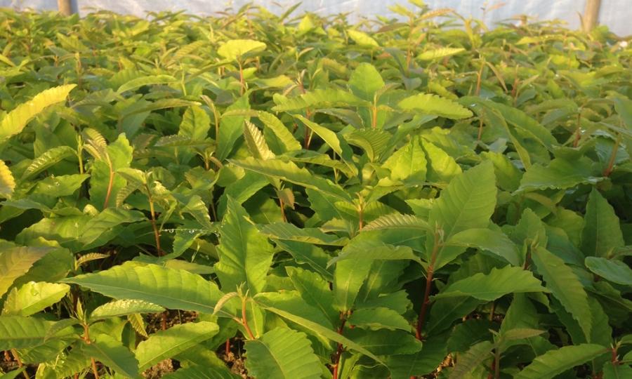 Viveros la dehesa plantas forestales agroforestales y for Tipos de plantas forestales